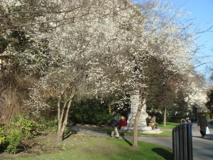 Spring in Embankment Gardens