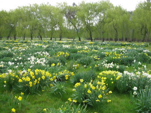 Pleasant valley Daffodils